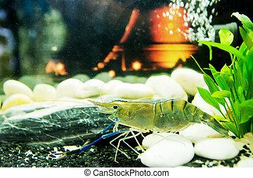shrimp in aquarium