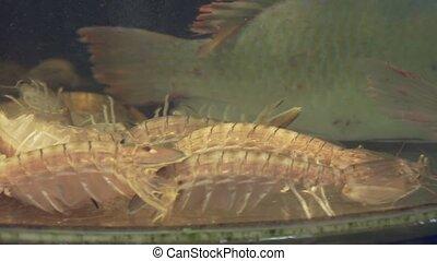 Shrimp in restaurant aquarium tank for sale to diners stock...