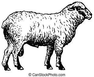 shropshire, mouton
