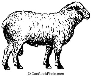 shropshire, sheep