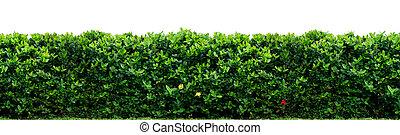 Natural shrub fence on white background