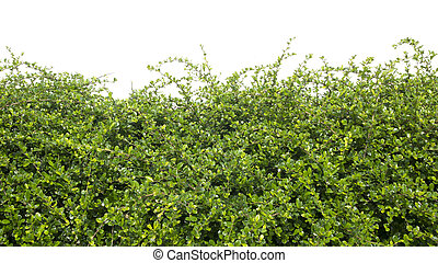 Shrub green isolated on a white background.