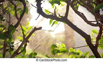 Shrub in the garden with working water sprinkler - Shrub...