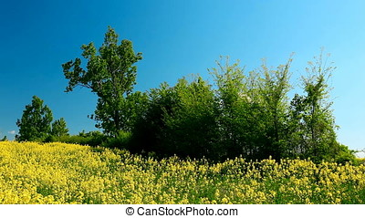 Shrub in the Middle of Rapeseed Field - Green shrub in the...