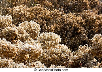 Shrub of hydrangeas dried after the winter