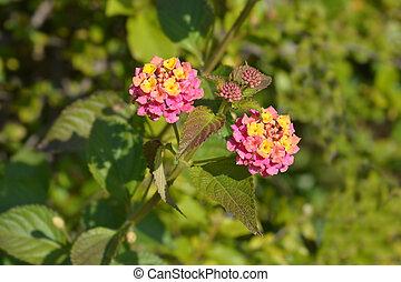 Shrub verbena flower
