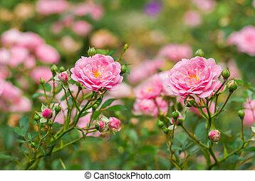 Shrubs of pink roses in summer garden