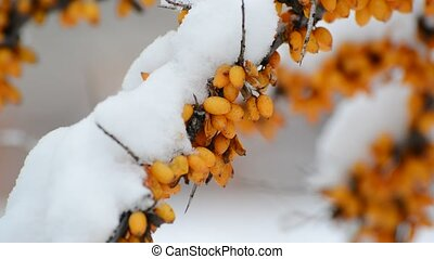 Shrubs of sea-buckthorn with yellow berries under snow. -...