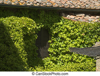 Shuttered window of old house, overgrown with vines