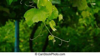 Shuttering grape twig in heavy rain, summer downpour in...