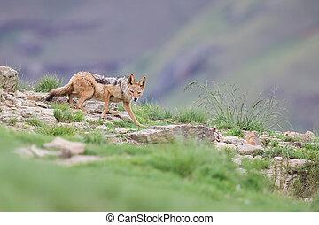 Shy black backed jackal scavenging for food on the side of mount