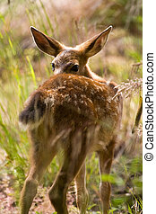 Blacktail Fawn Deer - Shy Blacktail Fawn Deer In Wooded Area