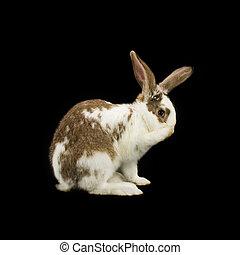 Shy bunny on black background