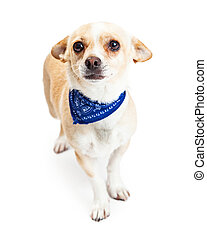 Shy Chihuahua Dog Wearing Blue Bandana