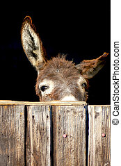 Shy donkey look out of a stable