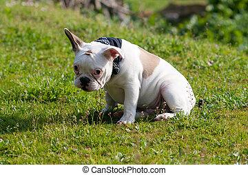 Shy French Bulldog sitting on grass