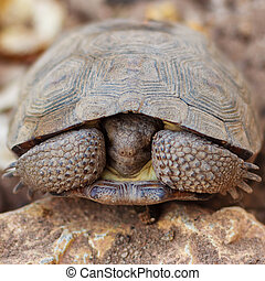 shy land turtle - Close-up shot of a land turtle in its...