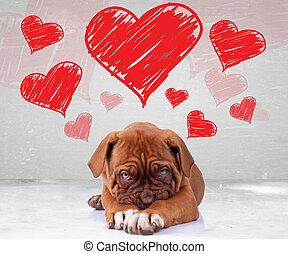 shy love of a dog de bordeaux puppy wit adorable face on...