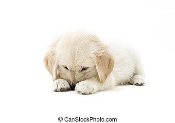 shy puppy - a lovely shy golden retriever puppy
