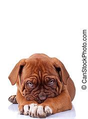shy puppy - Puppy of Dogue de Bordeaux (French mastiff)...