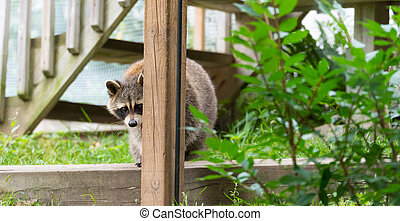 Shy raccoon looks at the camera from behind a post.