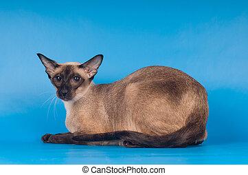 Siam cat lying portrait on blue background