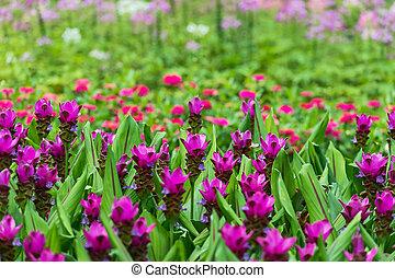 Siam Tulip blooming. - Siam Tulip blooming in the garden.
