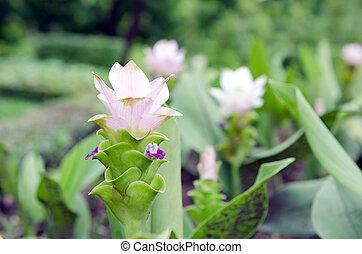 Siam Tulip flowers in the garden