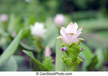 Siam Tulip hybrid flowers in the garden