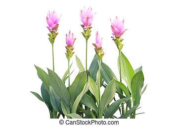 Siam Tulip isolated on white background