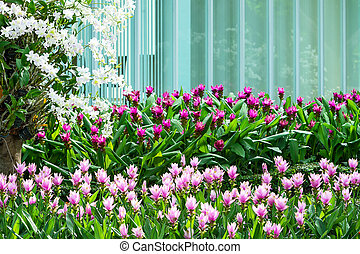 Siam Tulip. - Siam Tulip and orchid blooming in the garden...