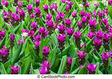 Siam Tulip. - Siam Tulip blooming in the garden.