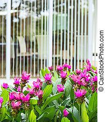 Siam Tulip. - Siam Tulip blooming in the garden in front...