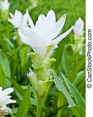 Siam white tulip flower. - The close up of Siam white tulip...