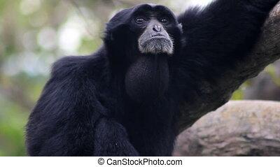 Siamang Gibbon Howling - A howler monkey%u2019s neck swells...