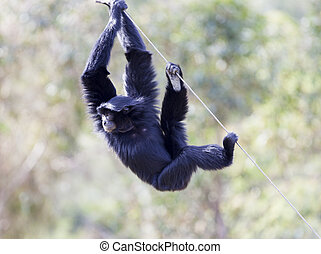Siamang (Hylobates syndactylus). The largest of the Gibbon...