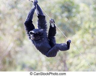 Siamang (Hylobates syndactylus). The largest of the Gibbon...