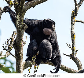 The siamang, Symphalangus syndactylus is an arboreal black-furred gibbon native to the forests of Malaysia, Thailand, and Sumatra. The largest of the gibbons.