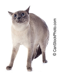 afraid purebred siamese cat in front of white background