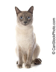 beautiful purebred siamese cat in front of white background