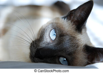 Close up to Siamese cat with blue eyes rest on bed