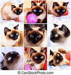 siamese, cat., fragmenten, van, leven