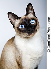Siamese cat isolated on the gray background