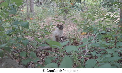 Siamese cat looking at camera, flat color, sliding camera -...