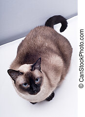 Siamese cat Looking the camera