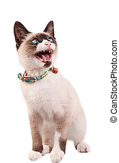 siamese cat looking to a side with mouth open and teeth exposed