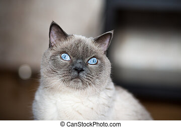 Siamese cat looking with hope