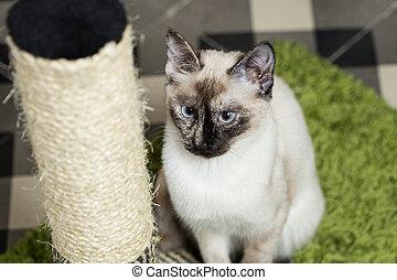 Nice siamese cat portrait near of cat scratcher.