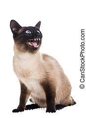 Siamese cat speaking with its mouth open at a white background