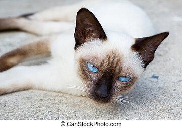 Siamese cat. -  Siamese cat lie leisurely on a floor.